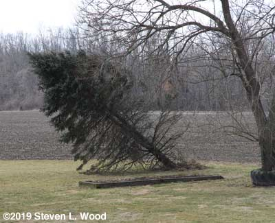 Blue Spruce blown over