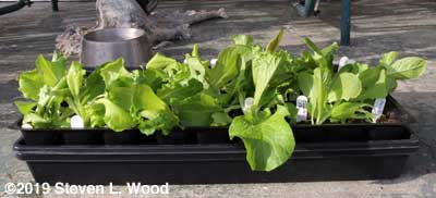 Lettuce - first out on the porch to harden off
