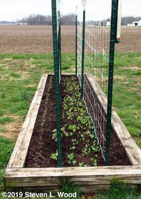 Spinach beside double trellised tall, early peas