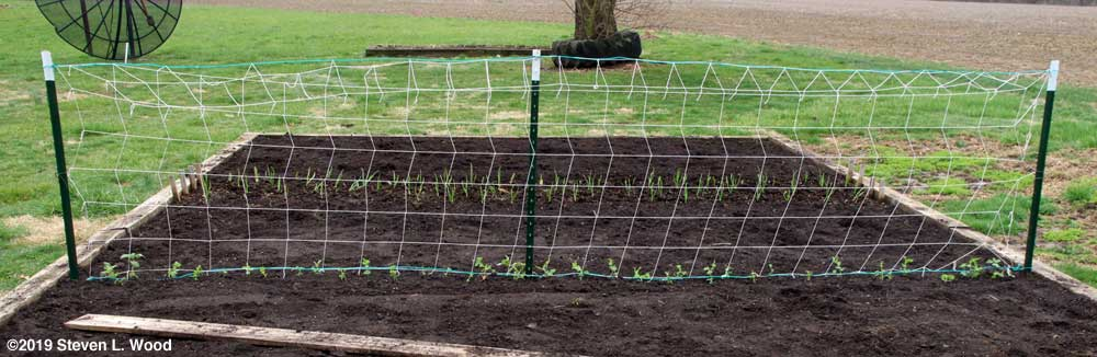 Trellised short peas with garlic in the background