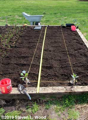 Rows strung, Brussels sprouts in