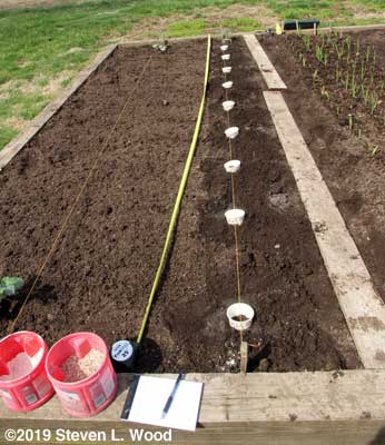 Cutworm collars in place marking planting spots
