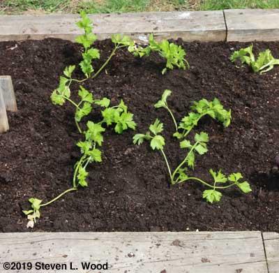 Celery transplanted