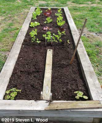 Narrow bed with carrots seeded, celery transplanted, lettuce, and geraniums