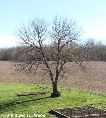Mulberry tree after pruning