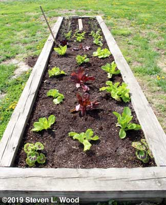 Lettuce, celery, onions, and seeded carrots