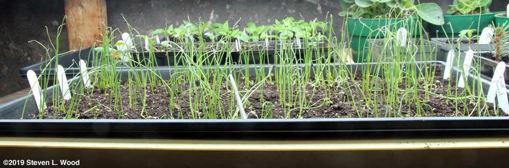 Late tray of onion transplants