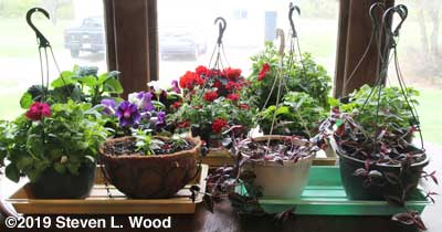 Hanging basket plants on dining room table