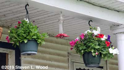 Petunias hanging from back porch
