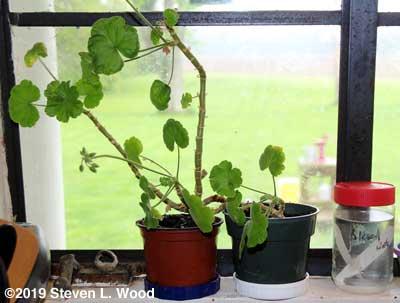 Dwarf geranium
