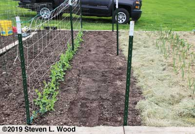 Short peas, lima been row along bare T-posts, and garlic