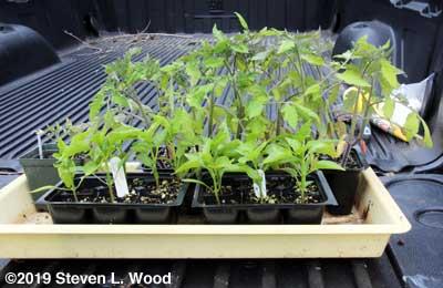 Geranium, tomato, and pepper transplants