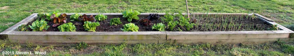Raised bed of lettuce, celery, onions, and carrots