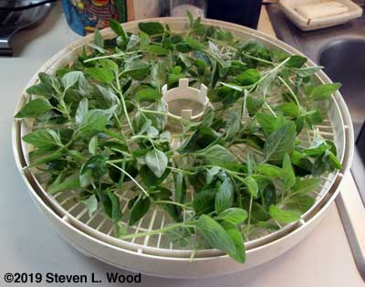 Oregano on dehydrator tray