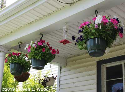 Supercascade petunias in hanging baskets