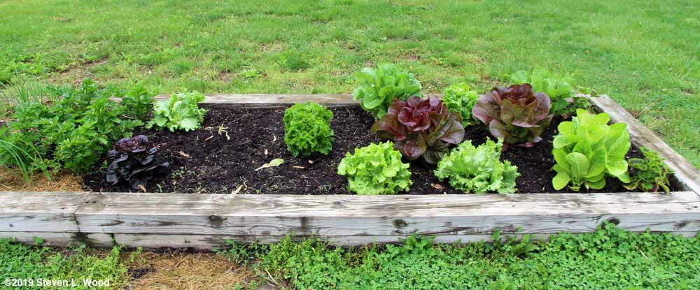 Our lettuce patch - May 12, 2019