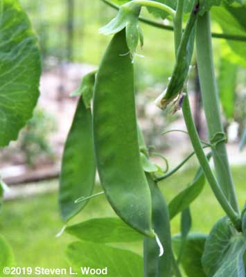 Pea pods fattening