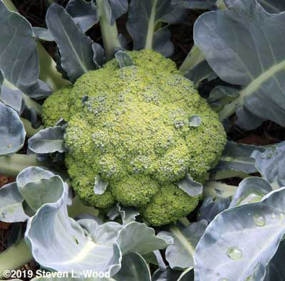 Large, immature head of Castle Dome broccoli