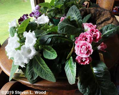 Older gloxinia plants in bloom