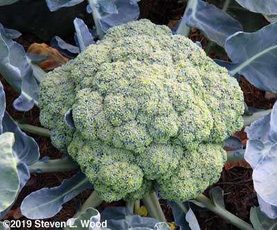 Huge head of Castle Dome broccoli