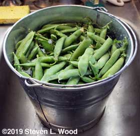 Peas soaking