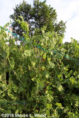 Champion of England pea vines and pods