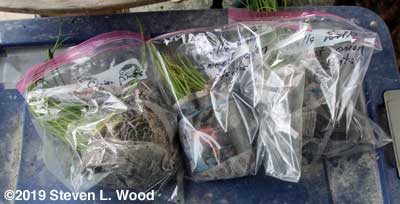 Bagged extra onion plants