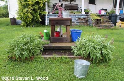 Sage in herb garden