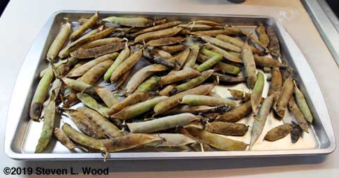 Eclipse pea pods drying on cookie sheet