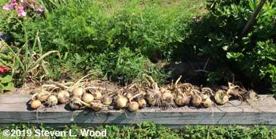 Walla Walla onions at edge of raised bed