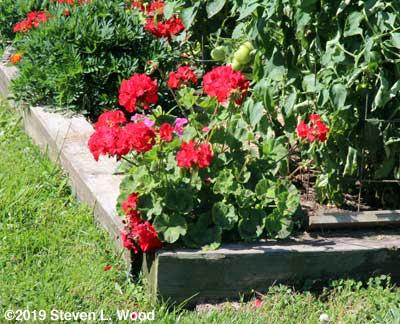 Maverick Red geranium in bloom