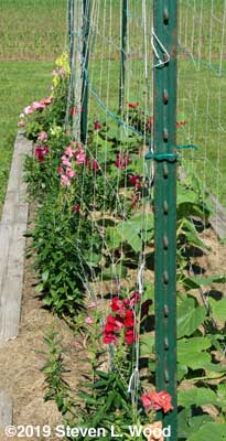 Snapdragons along cucumber row