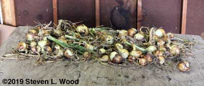 Onions moved to the garage