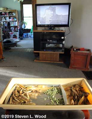 Shelling seed peas while watching PBS Newshour