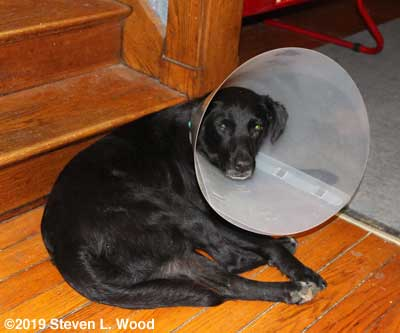 """Pepper wearing the """"collar of shame"""""""