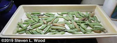Some very green Encore pea pods drying in tray