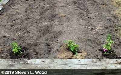 Petunias resplace row marker stakes