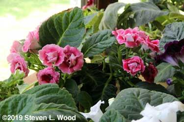 Magenta double blooms