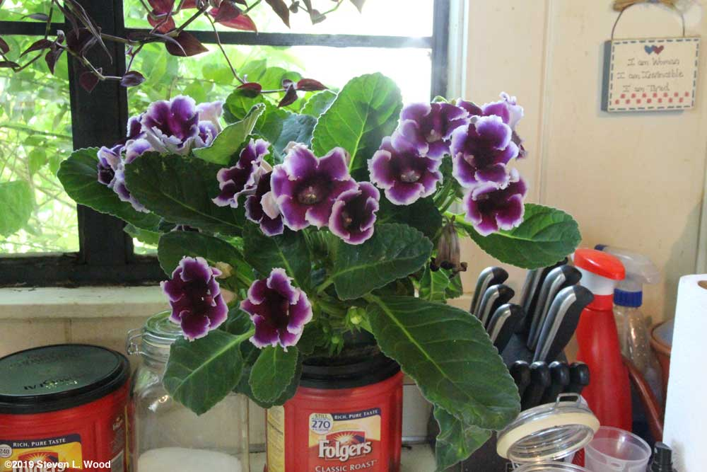 Lovely gloxinia with purple blooms with white tips