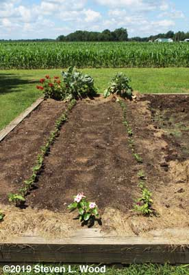 Green bean rows cleaned up with scuffle hoe