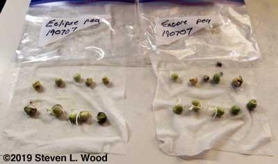 Pea germination tests