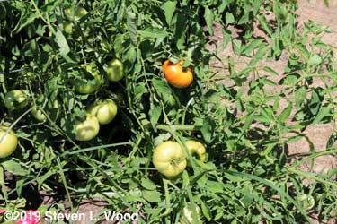 More tomatoes showing red