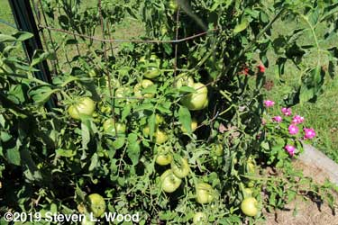 Lots of tomatoes coming