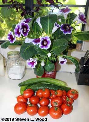 Gloxinia, cucumbers, and tomatoes