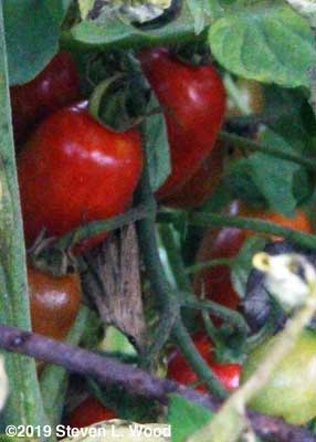 Red Pearl grape tomatoes