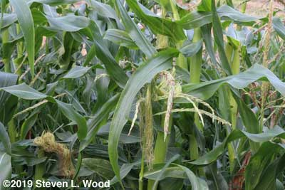 Corn tasseling and putting on ears