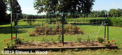 Dead vines cleared and trellis raised on one side