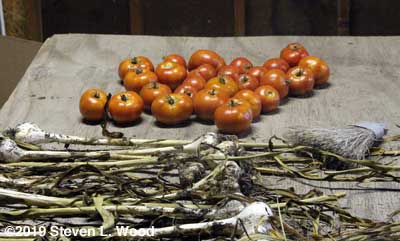 Tomatoes on curing table