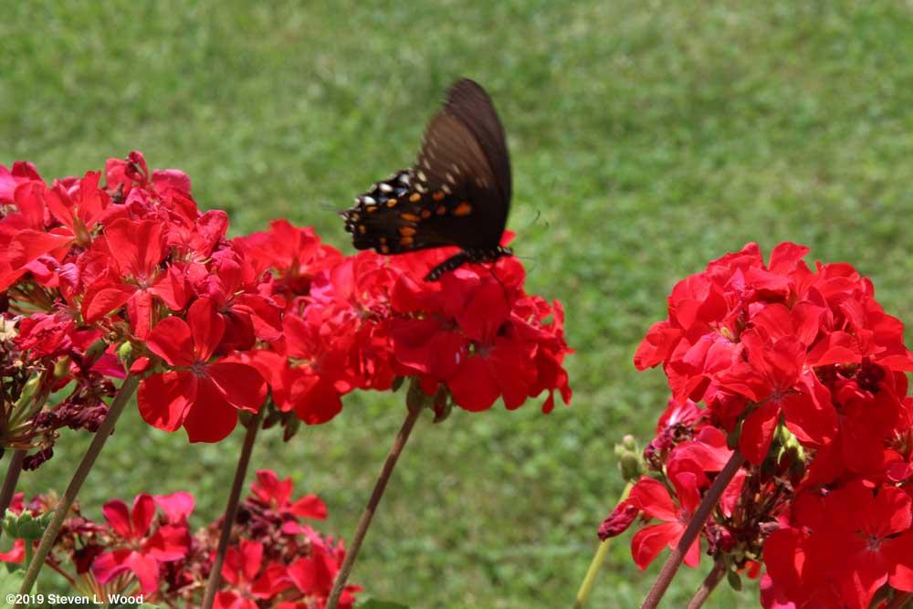 Butterfly on geranium bloom