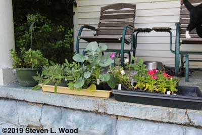 Broccoli and other transplants on porch